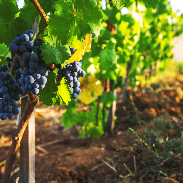 """""""Vineyards at sunset in autumn harvest. Ripe grapes in fall."""" stock image"""