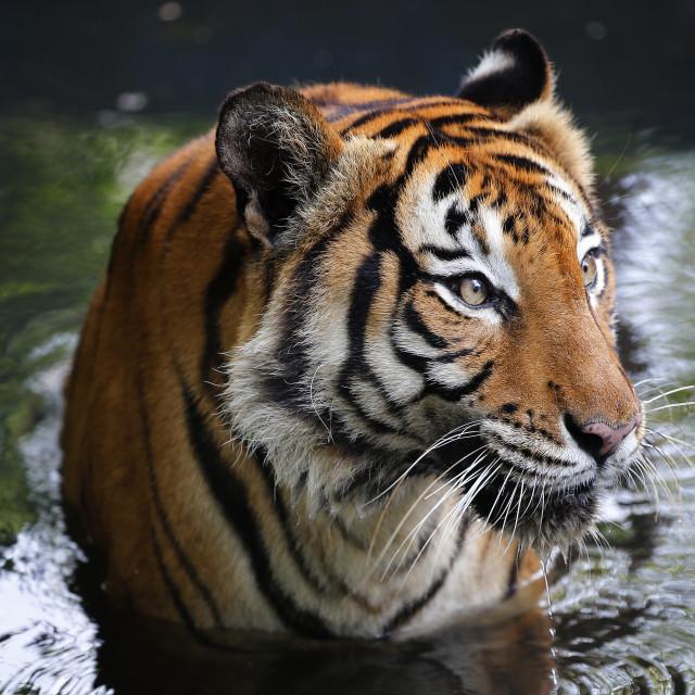 """""""Close-up of Tiger at the streams in Kuala Lumpur"""" stock image"""