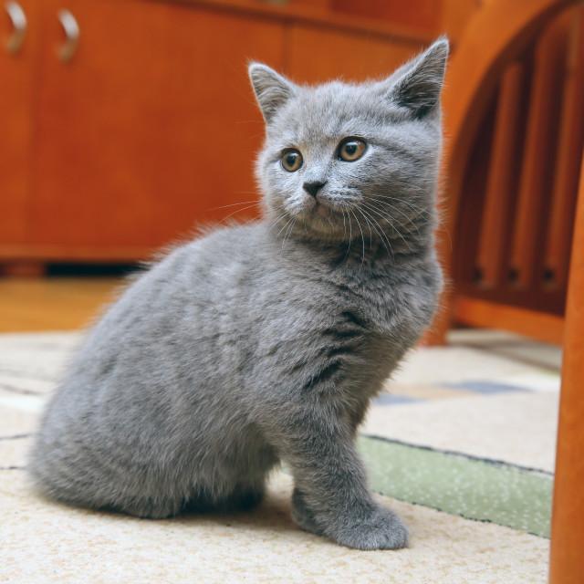 """British shorthair cat"" stock image"