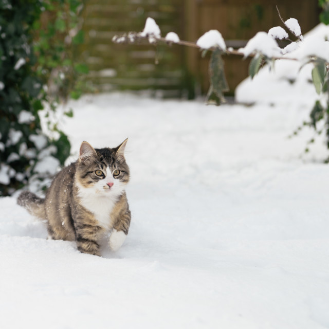 """""""Housecat in the snow"""" stock image"""