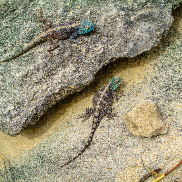 """""""Southern Rock Agama, South Africa"""" stock image"""