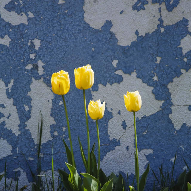 """Yellow Tulips Growing Next To An Old Cement Wall, Laval, Quebec, Canada"" stock image"