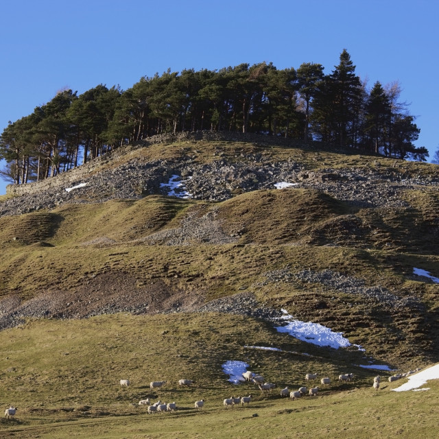 """Durham Dales, County Durham, England; Sheep Grazing With Trees On A Hill Top..."" stock image"