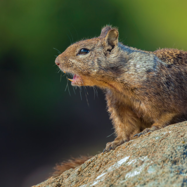 """ground squirrel"" stock image"