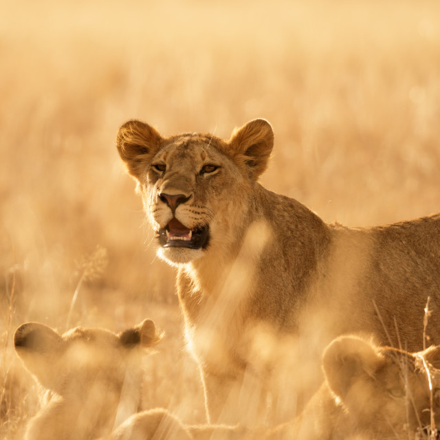 """Lioness - Central Serengeti"" stock image"