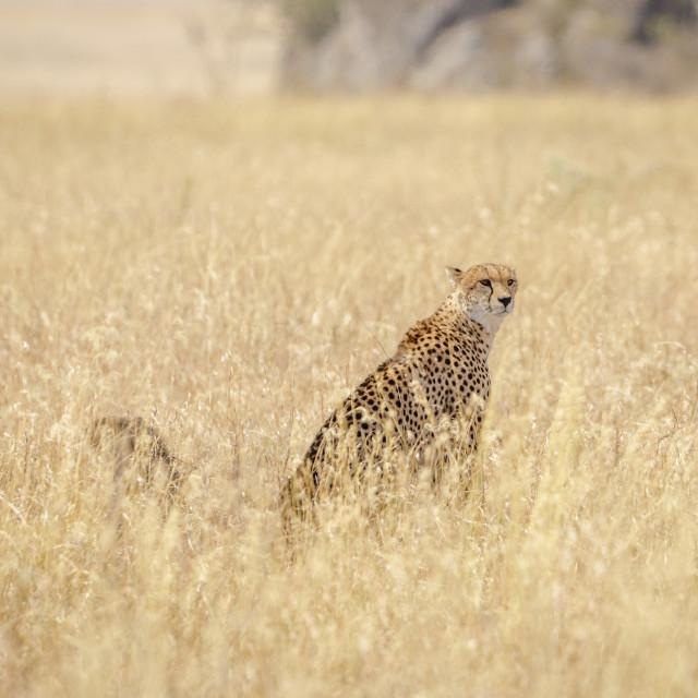 """""""Cheetah - Serengeti"""" stock image"""