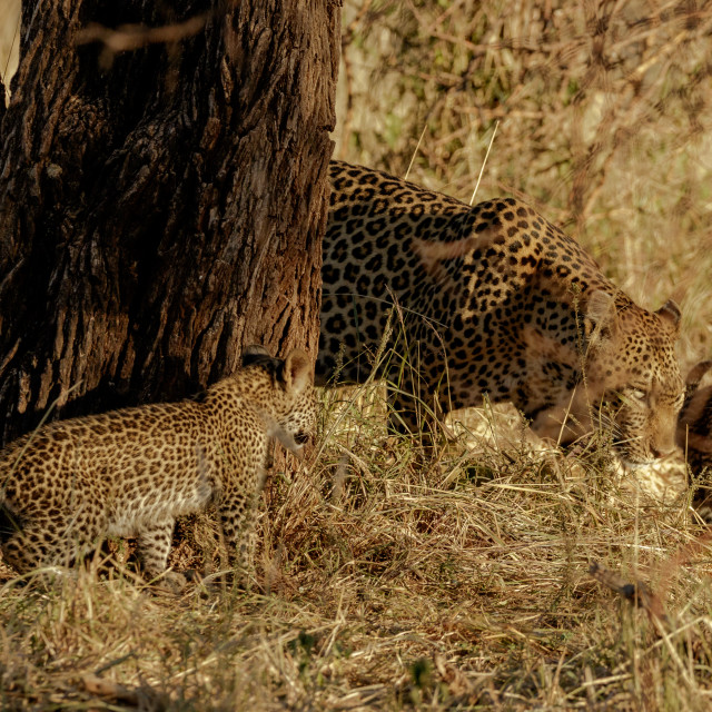 """Leopard and Cubs - Serengeti"" stock image"