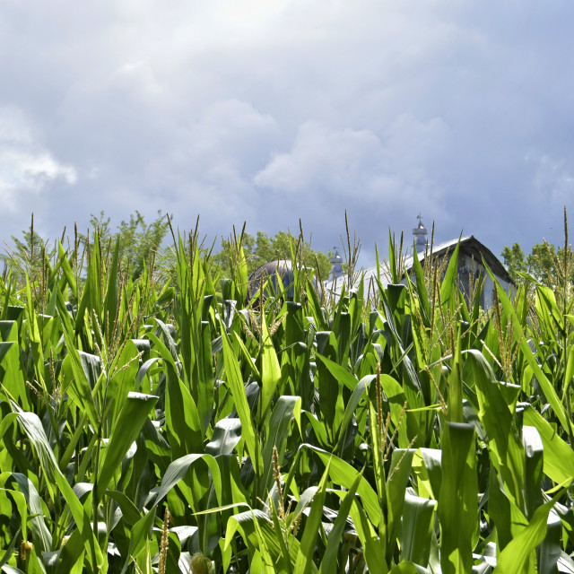 """Edge of cornfield"" stock image"