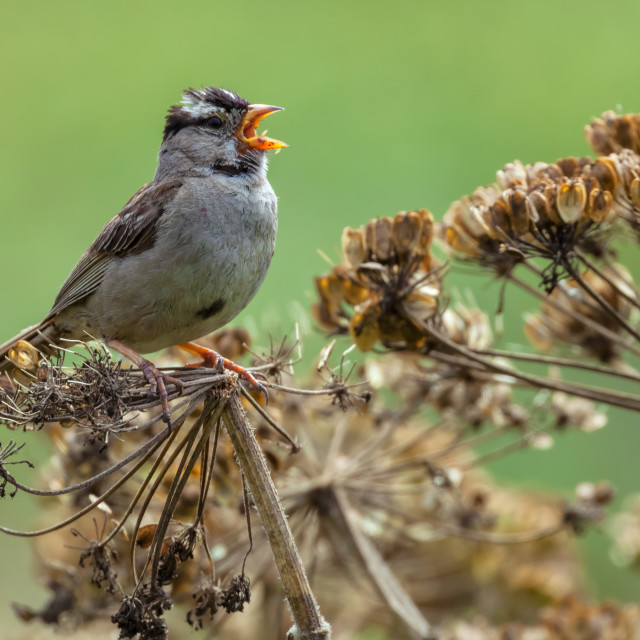 """Singing sparrow"" stock image"