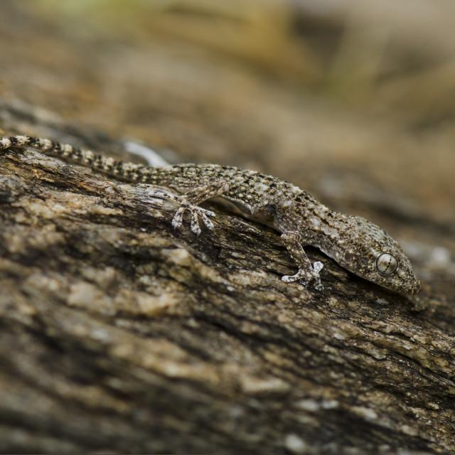 """Moorish wall gecko (Tarentola mauritanica ) reptile on trunk"" stock image"
