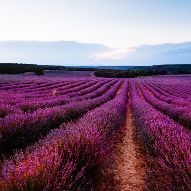 """Beautiful image of lavender fields. Summer sunset landscape"" stock image"