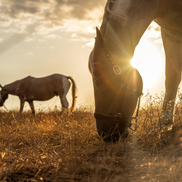 """Horse grazing in a pasture with grass at sunset"" stock image"