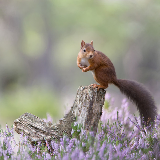 """Red Squirrel, Loch an Eilein"" stock image"