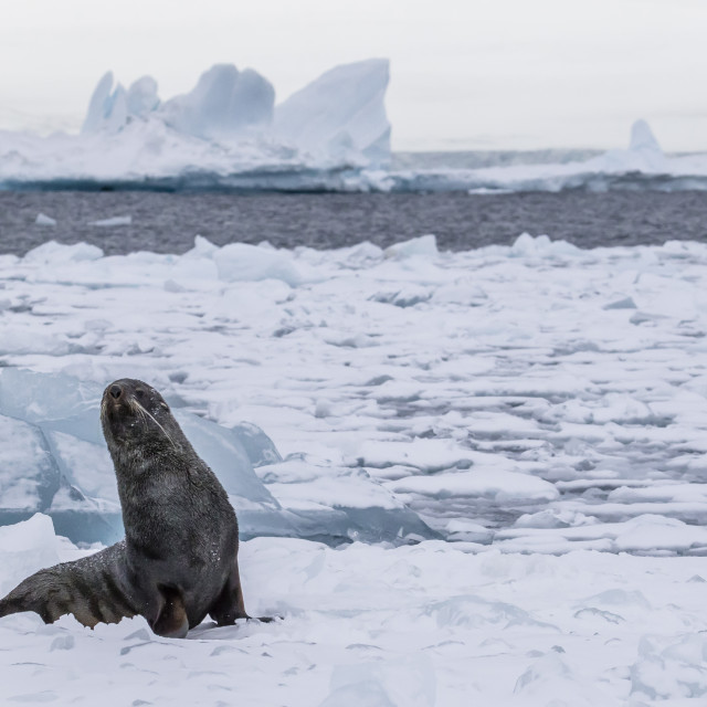 """Adult bull Antarctic fur seal (Arctocephalus gazella), hauled out on first..."" stock image"