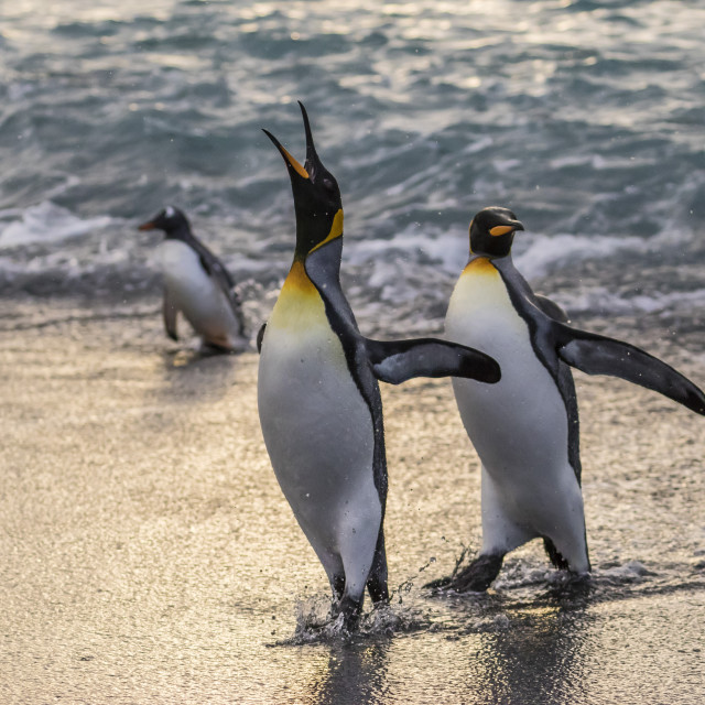 """King penguins (Aptenodytes patagonicus) returning from the sea at Gold..."" stock image"
