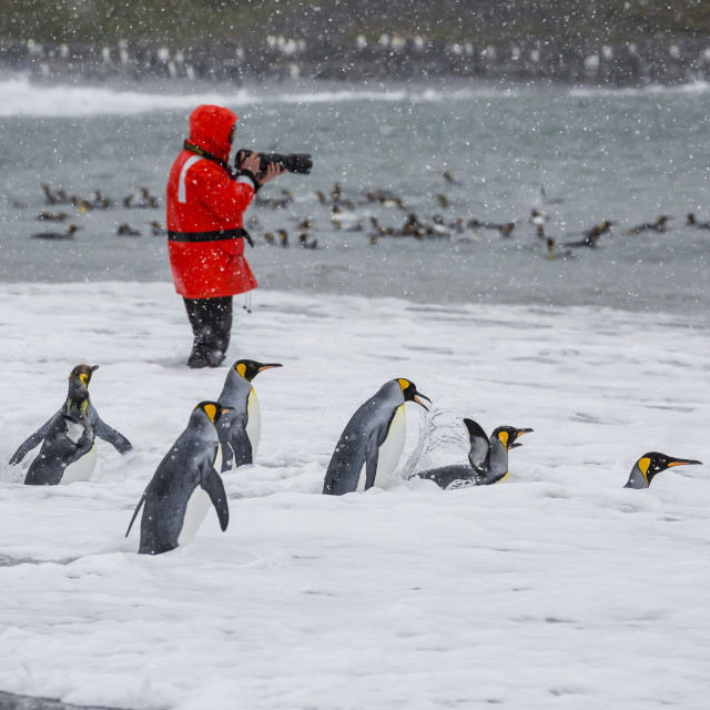 """""""Adult king penguins (Aptenodytes patagonicus) going to sea at St. Andrews..."""" stock image"""