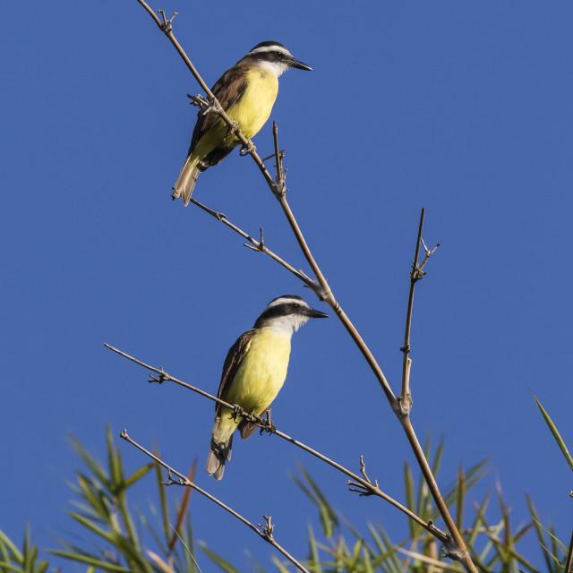 """Great Kiskadee pair (Pitangus sulphuratus), Iguazu Falls National Park,..."" stock image"
