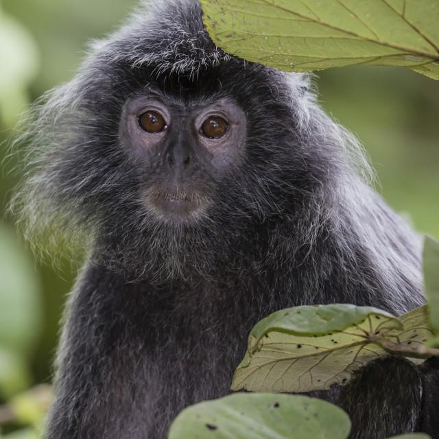 """Adult silvery langur, Trachypithecus cristatus, silvered leaf monkey, Bako..."" stock image"