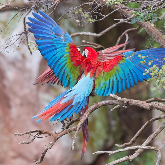 """Playful Red-and-green Macaws (Ara chloropterus), Buraco das Araras, Mato..."" stock image"