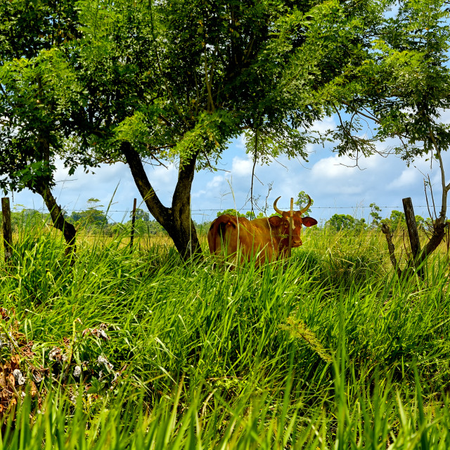 """Cattle grazing"" stock image"