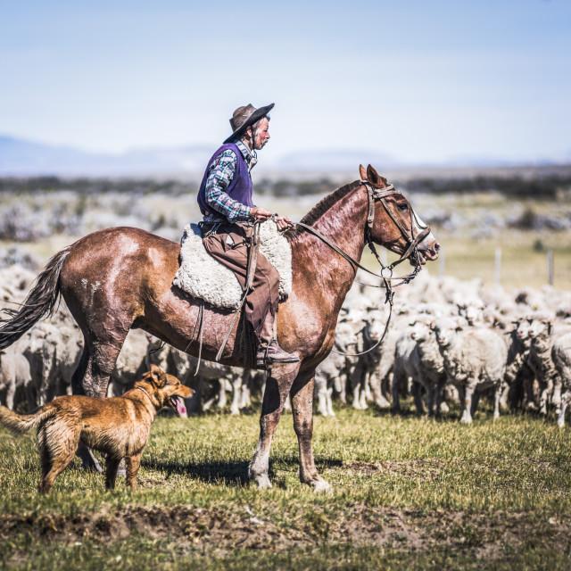 """Gauchos riding horses to round up sheep, El Chalten, Patagonia, Argentina"" stock image"
