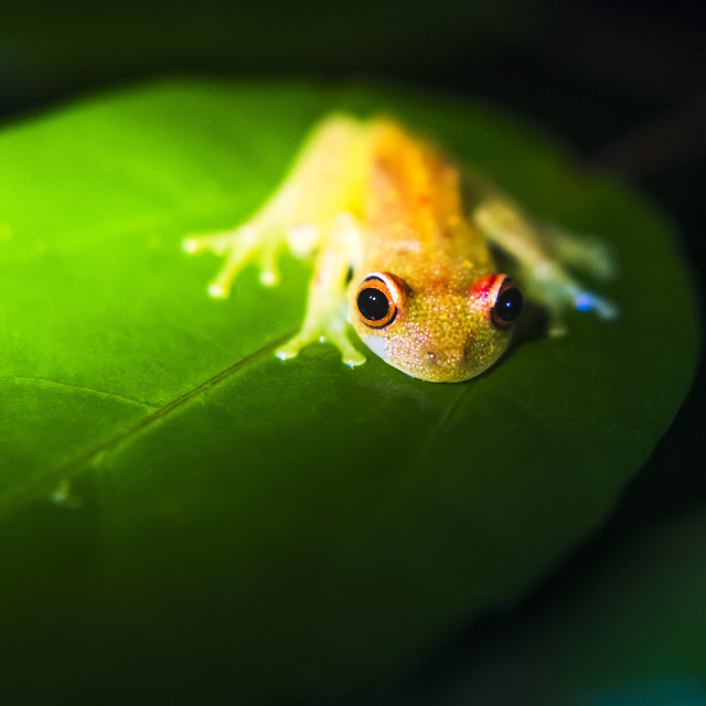 """Frog in the Amazon Rainforest at night, Coca, Ecuador, South America"" stock image"