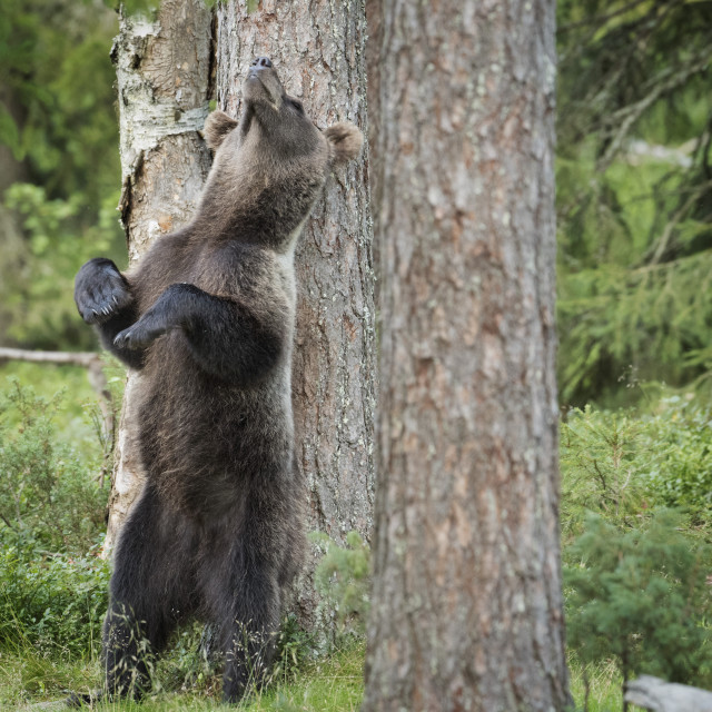 """Brown Bear, Ursus Arctos, Finland"" stock image"