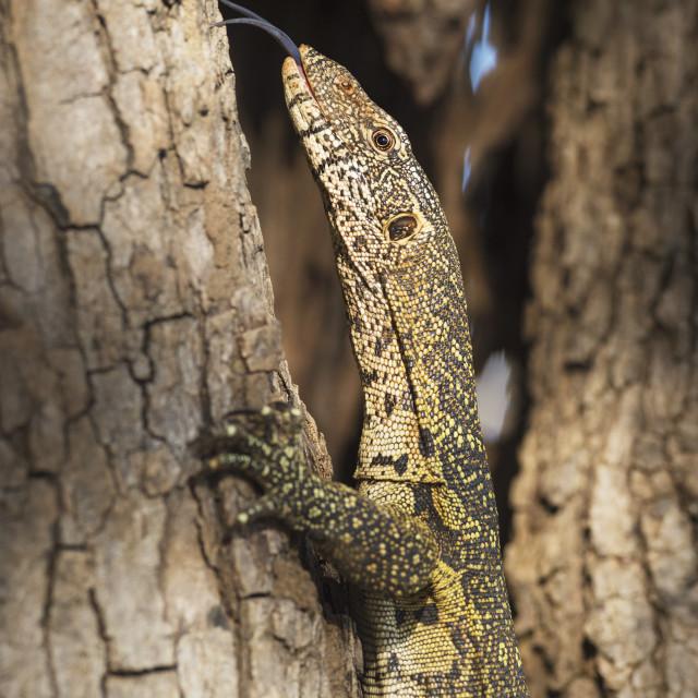 """Nile Monitor, Varanus Niloticus"" stock image"