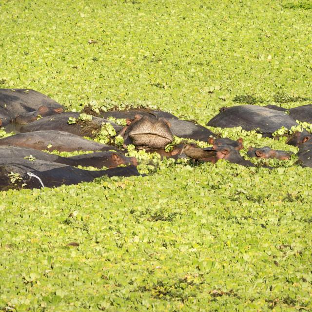 """Hippopotamus, Hippopotamus Amphibious"" stock image"