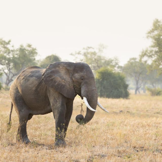 """""""African Elephant, Loxodonta Africana"""" stock image"""