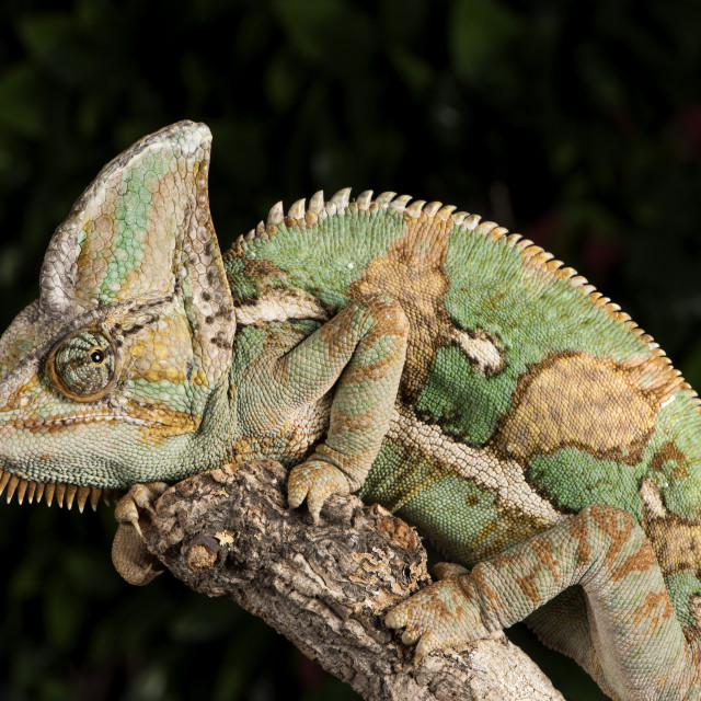 """Yemen Chameleon, Chameleon Calyptratus, captive"" stock image"