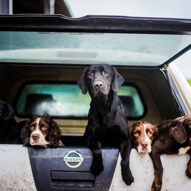 """""""gun dogs in the back of 4x4 on a shoot in Wiltshire"""" stock image"""