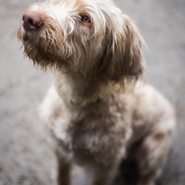 """Wired-haired Viszula, gun dog"" stock image"