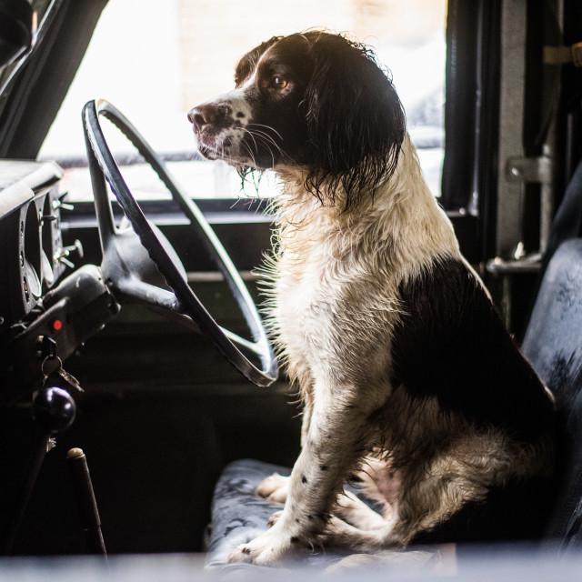 """Springer Spaniel, Gun Dog, Land Rover"" stock image"