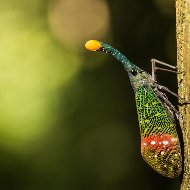 """""""Orange-tip lantern fly (Pyrops intricata)"""" stock image"""