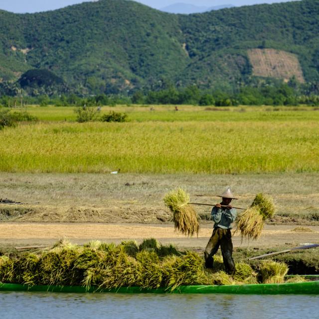 """Harvesting rice along the Kaladan River, Sittwe, Rakhaing state, Myanmar..."" stock image"