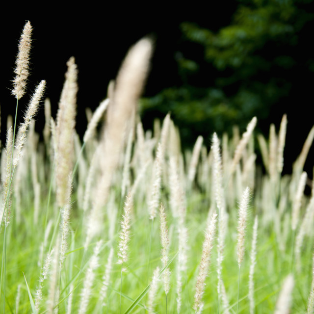"""""""grasses waving in the wind"""" stock image"""
