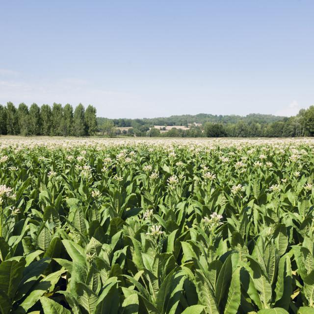 """""""Tobacco farm"""" stock image"""