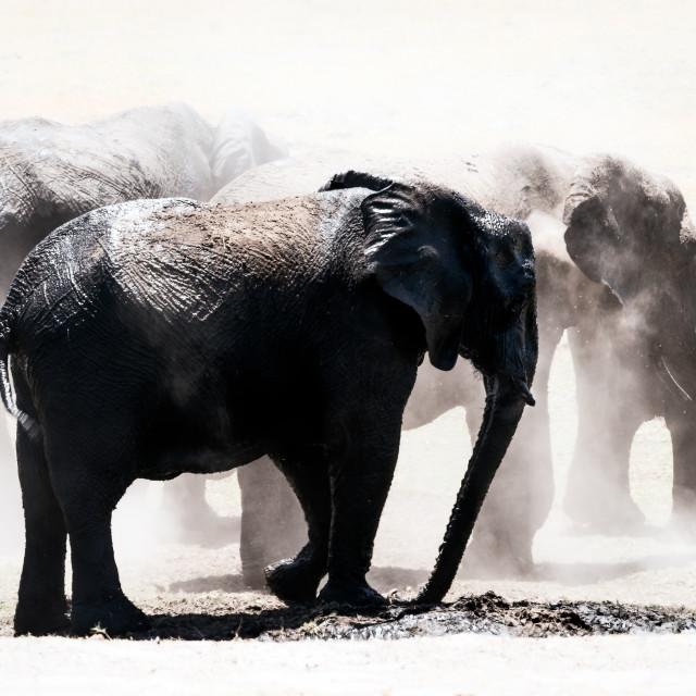 """""""Herd Elephants in the Dust, Chobe National Park, Botswana, Africa"""" stock image"""