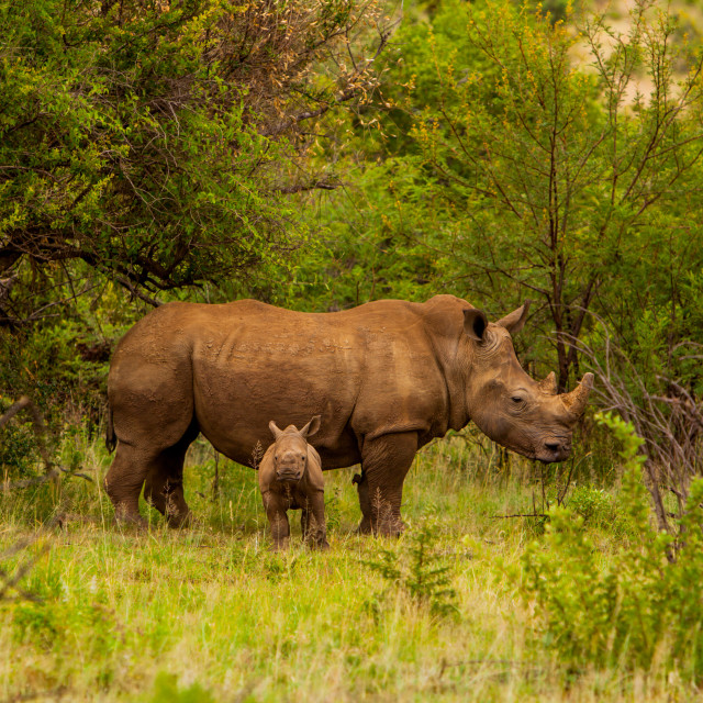 """African Rhino and Baby, Kruger National Park, Johannesburg, South Africa"" stock image"