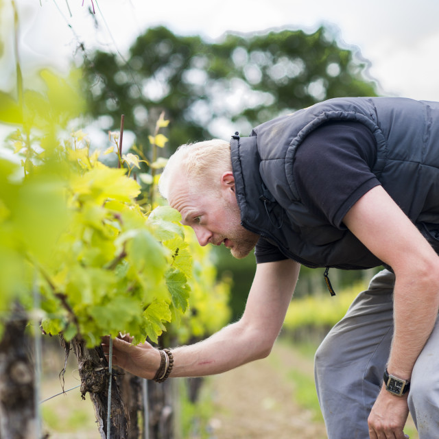 """""""Inspecting budding grapes in a vineyard in Sussex in the UK"""" stock image"""
