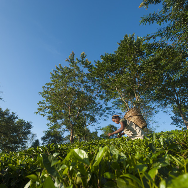 """""""A woman collects tea leaves in Assam in north east India, India, Asia"""" stock image"""