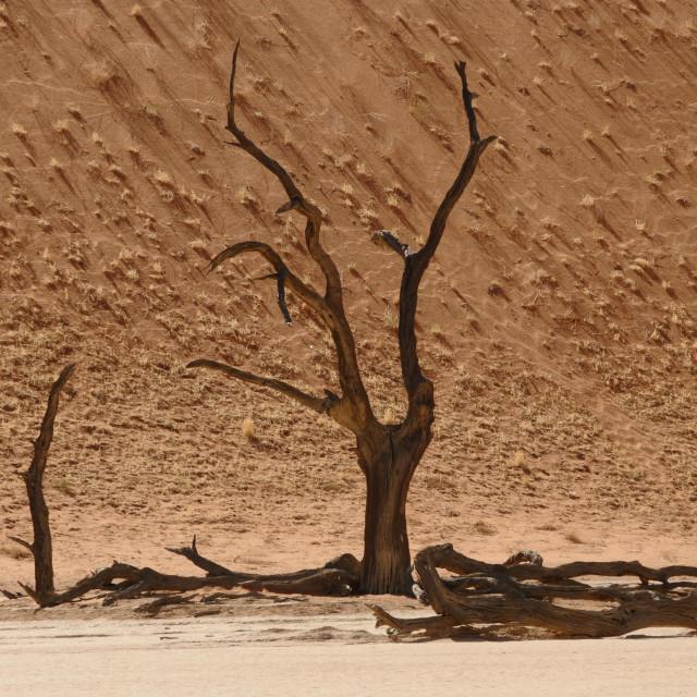 """Sossusvlei - Death Valley in Namibia. Skeleton trees."" stock image"