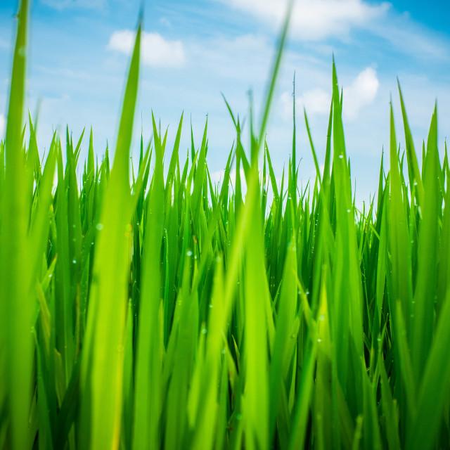 """Green Rice"" stock image"
