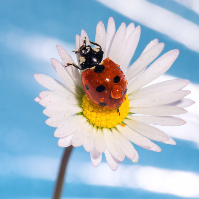 """""""Coccinellidae"""" stock image"""