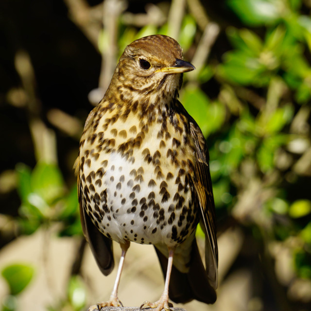 """Thrush, Isles of Scilly, England, United Kingdom, Europe"" stock image"