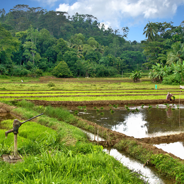 """""""Plant rice in fields"""" stock image"""
