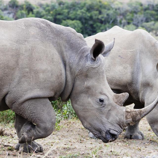 """""""South Africa, Kwazulu-Natal, Hluhluwe-Imfolozi Park, white rhino,..."""" stock image"""