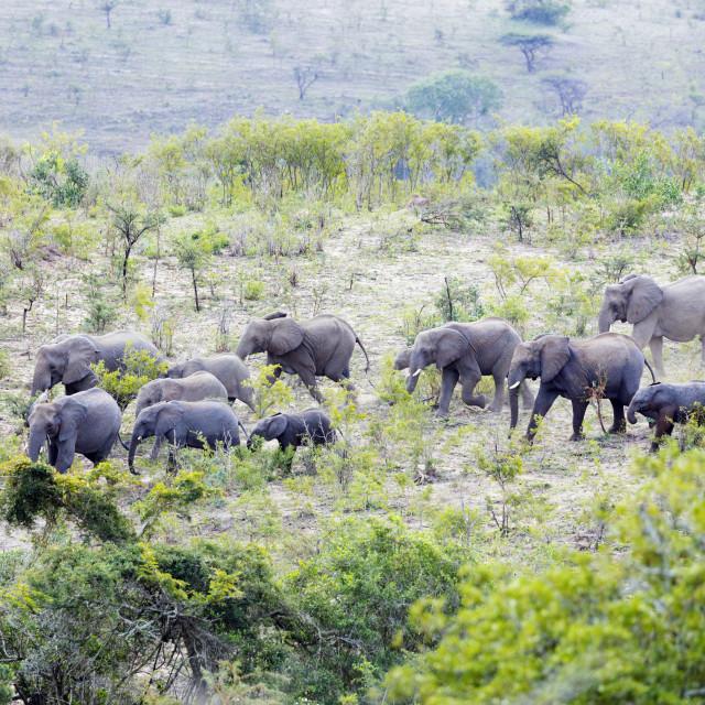 """""""South Africa, Kwazulu-Natal, Hluhluwe-Imfolozi Park, African elephant herd,..."""" stock image"""