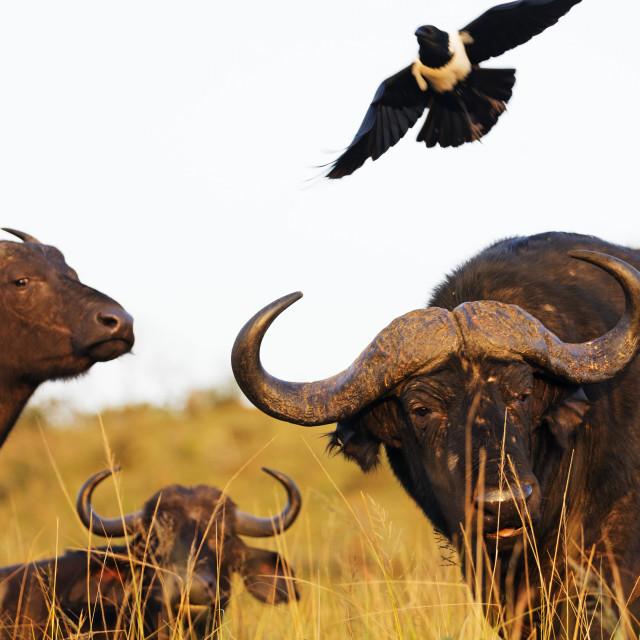 """""""South Africa, Kwazulu-Natal, Hluhluwe-Imfolozi Park, Buffalo, Syncerus..."""" stock image"""